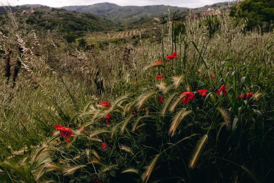 toskańskie pola, krajobraz, maki, widok na toskanię, ślub we Włoszech